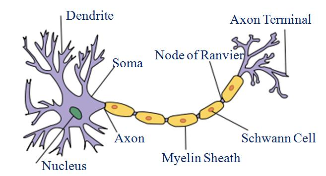 Neuron diagram unmasa dalha neuron diagram ccuart Choice Image